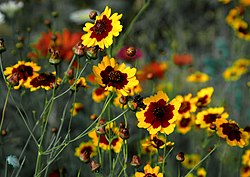 Plains Coreopsis.jpg