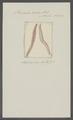 Planaria rosea - - Print - Iconographia Zoologica - Special Collections University of Amsterdam - UBAINV0274 105 09 0022.tif