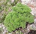 Plant on Mount Ara.jpg