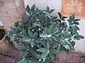 Planta kumquat 8 agost06 065.jpg