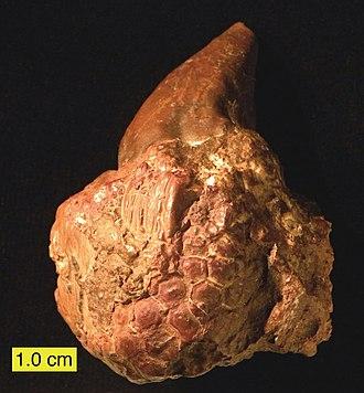 Platyceratidae - Conical platyceratid gastropod (Palaeocapulus acutirostre) attached to a crinoid (Mississippian of Ohio)