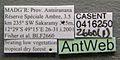 Platythyrea arthuri casent0416250 label 1.jpg