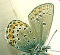 Plebeius-idas-male-under-HH.jpg
