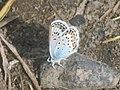Plebejus argus ♂ - Silver-studded blue (male) - Голубянка аргус (самец) (41033761611).jpg