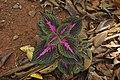 Plectranthus scutellarioides 3220.jpg