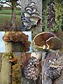 Pleurotus ostreatus (Oyster Mushroom, D= Austernseitling, F= Pleurote en forme d'huître ou P. en coquille, NL= Gewone oesterzwam) white spores and causes white rot, young and grown up at Chestnut trees (kastanjebomen) - panoramio.jpg