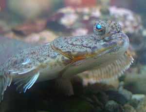 American plaice - American plaice, Hippoglossoides platessoides