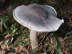 Pluteus pseudorobertii BW42.JPG