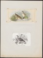 Podica personata - 1700-1880 - Print - Iconographia Zoologica - Special Collections University of Amsterdam - UBA01 IZ17500257.tif