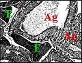 Poecilopachys , tissu endocrinoïde 2.jpg