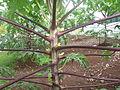 Pohon pepaya.JPG