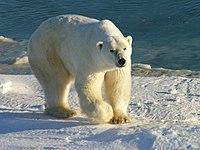 Ísbjörn