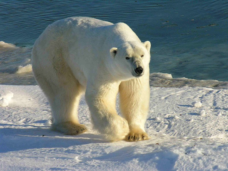 File:Polarbär 12 2004-11-17.jpg