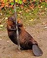 Pole Dancing Beaver (4154614438).jpg