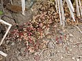 Polycarpon tetraphyllum L. (AM AK301530-1).jpg
