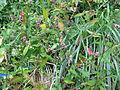 Polygonum longisetum1.jpg