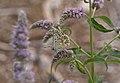 Polyommatus coridon03.jpg