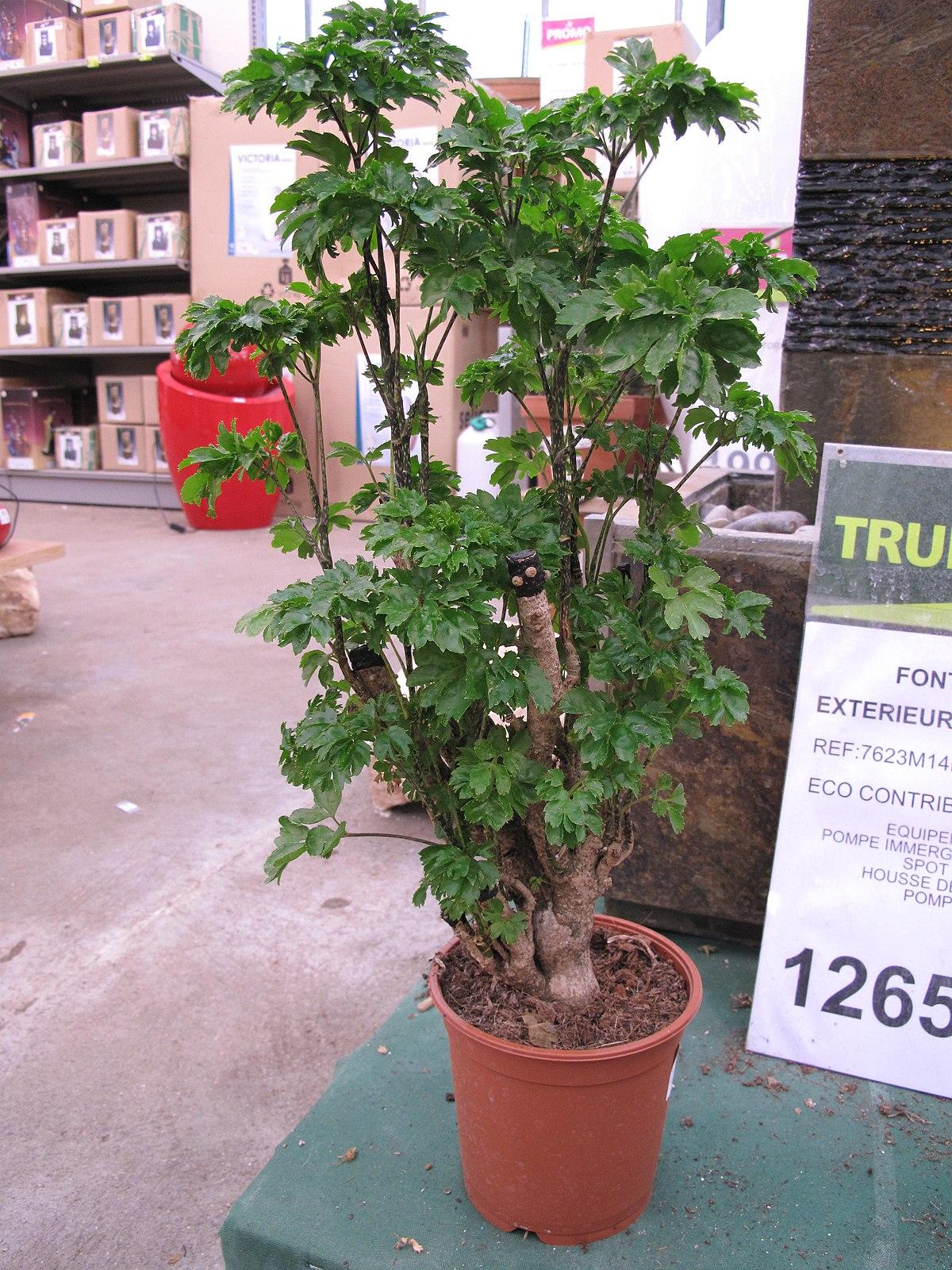 Мирт домашнее дерево купить в интернетмагазине Мандарин