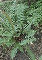 Polystichum acrostichoides kz2.jpg
