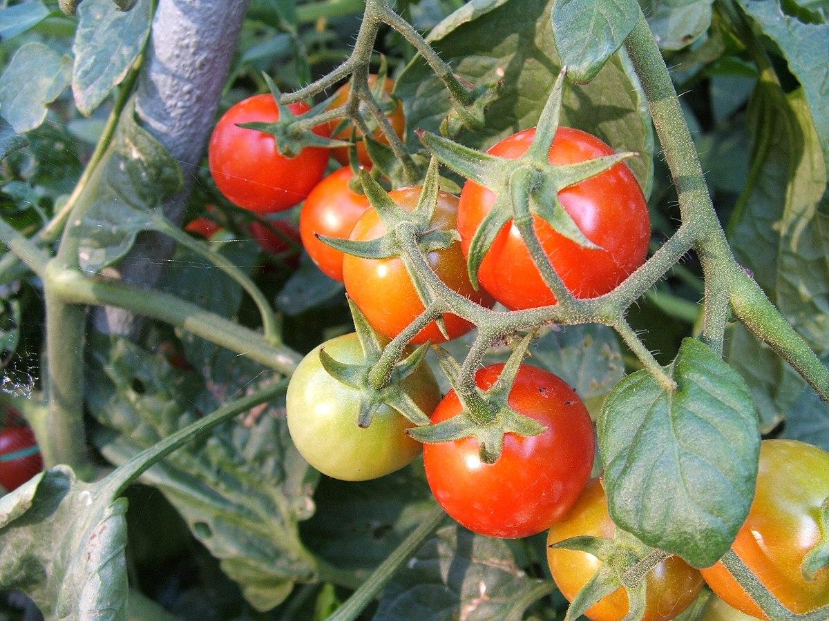 är tomat en grönsak