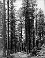 Ponderosa pine - Kaibab NF - 1947.jpg