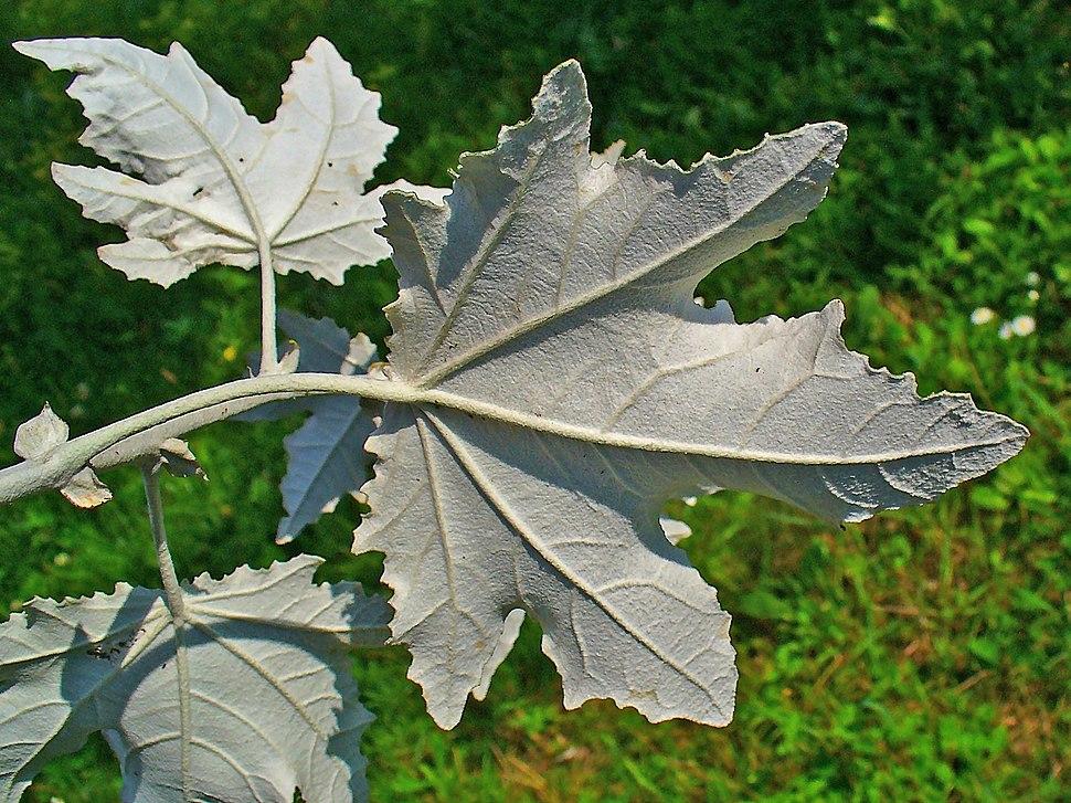 Populus alba 003