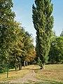 Populus nigra-bekes-2.jpg