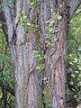 Populus nigra (4998505241).jpg