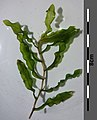 Potamogeton crispus sl2.jpg