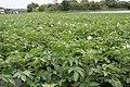 Potato field in Kashima, Ibaraki 02.jpg
