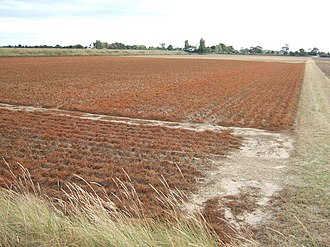Crop desiccation - Desiccated potato plants prior to harvest