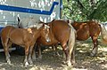 Poulain de cheval de trait, Mirabel en Ardèche 01.jpg