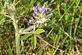 Prairie Turnip (Psoralea esculenta) on Sand Lake WMD 01 (13858151154).jpg