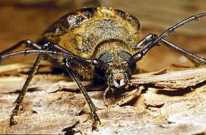 Huhu beetle - Image: Prionoplus reticularis