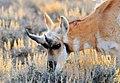 Pronghorn Buck Shed Horns (16013371428).jpg