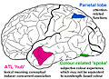 Proposed regions involved in the neural substrates of grapheme–color synesthesia.jpg