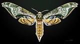 Protambulyx astygonus MHNT CUT 2010 0 34 Guapimirim Rio Brasil female dorsal.jpg