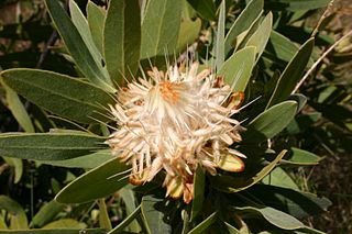 <i>Protea welwitschii</i> Species of flowering plant in the family Proteaceae