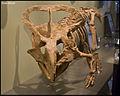 Protoceratops (15491468937).jpg