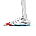 Proximal phalanges of left foot02 lateral view.png
