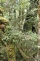 Prumnopitys ferruginea kz5.jpg