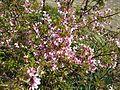 Prunus Okame - Flickr - peganum.jpg