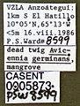 Pseudomyrmex eduardi casent0005873 label 1.jpg