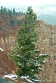 Pseudotsuga glauca Ponderosa Point Bryce Canyon.jpg
