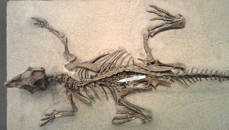 File:Psittacosaurus mongoliensis - AMNH - DSC06310.JPG