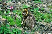 Ptarmigan Raicyou in Arakawadake Mother and child 1994 7 29.jpg