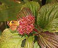 Pterodecta felderi on Viburnum urceolatum.JPG