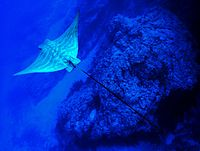 Pteromylaeus bovinus tenerife