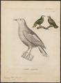 Ptilinopus hyogaster - 1700-1880 - Print - Iconographia Zoologica - Special Collections University of Amsterdam - UBA01 IZ15600063.tif