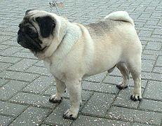 Coat Dog Wikipedia